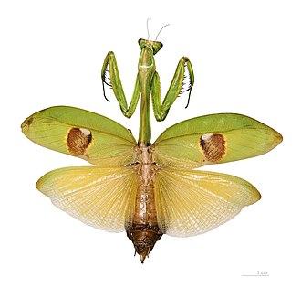 Stagmatoptera supplicaria - adult female Stagmatoptera supplicaria