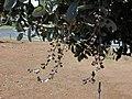 Starr-010330-0595-Conocarpus erectus-leaves and fruit-Kahului-Maui (24236558980).jpg
