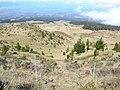 Starr-041211-1473-Pinus radiata-small trees-Puu Nianiau-Maui (24353180279).jpg
