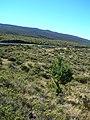 Starr-051122-5243-Pinus radiata-habit-Haleakala Ranch-Maui (24755941721).jpg