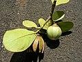 Starr-060922-9150-Clusia rosea-leaves and immature fruit-Kahului Airport-Maui (24498141379).jpg