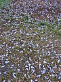 Starr-070519-7143-Jacaranda mimosifolia-flowers on ground-Makawao-Maui (24593883970).jpg