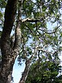 Starr-080417-4089-Jacaranda mimosifolia-trunk and canopy-Makawao-Maui (24880653466).jpg