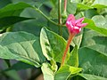 Starr-080601-5073-Mirabilis jalapa-flowers and leaves-Commodore Ave around residences Sand Island-Midway Atoll (24911341035).jpg