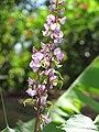 Starr-090714-2754-Lablab purpureus-flowers and leaves-DT Fleming Beach Kapalua-Maui (24943373386).jpg