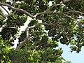 Starr-090720-3206-Hymenaea courbaril-branches-West Main Wailuku-Maui (24674887210).jpg