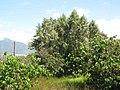 Starr-090814-4373-Tamarix aphylla-habit-Kealia Pond-Maui (24946020766).jpg