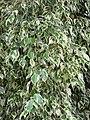 Starr-110330-3786-Ficus benjamina-variegated leaves-Garden of Eden Keanae-Maui (24713064329).jpg
