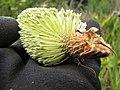 Starr-110609-6145-Banksia marginata-flower-Shibuya Farm Kula-Maui (24801208240).jpg