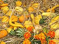 Starr-111004-0581-Cucurbita pepo-pumpkins and gourds-Kula Country Farms-Maui (24491550163).jpg
