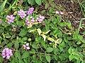 Starr-120312-3692-Lantana montevidensis-purple flowers and variegated leaves-Enchanting Floral Gardens of Kula-Maui (24506933854).jpg