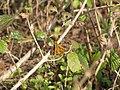 Starr-130321-3596-Lantana camara-flowers with fiery skipper butterfly Hylephila phyleus-Crater Hill Kilauea Pt NWR-Kauai (25209401265).jpg