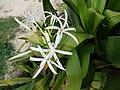 Starr-150325-0564-Crinum asiaticum-flowers-Residences Sand Island-Midway Atoll (25239756786).jpg