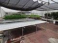 Starr-150326-0858-Allium fistulosum-in Hydroponics greenhouse-Town Sand Island-Midway Atoll (25240759356).jpg