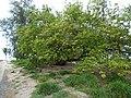 Starr-150327-0331-Thespesia populnea-habit-Clipper House Sand Island-Midway Atoll (25241692146).jpg