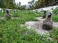 Starr-150327-0498-Lepidium virginicum-habit and Laysan Albatrosses-Near Bart Hill Sand Island-Midway Atoll (24900615309).jpg