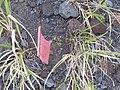 Starr-151214-3238-Alternanthera pungens-seeding habit-LZ Honokanaia-Kahoolawe (25682316453).jpg