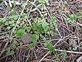 Starr-170225-0028-Veronica arvensis-habit-Lower Waiohuli Trail Polipoli-Maui (32998701950).jpg