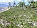 Starr 020201-0007 Ipomoea pes-caprae subsp. brasiliensis.jpg