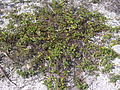 Starr 031108-2016 Waltheria indica.jpg