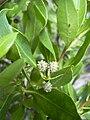 Starr 031108-2090 Conocarpus erectus.jpg