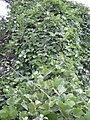 Starr 040410-0114 Canavalia pubescens.jpg