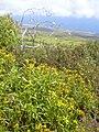 Starr 040731-0068 Bidens micrantha subsp. kalealaha.jpg