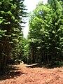 Starr 050515-1161 Araucaria columnaris.jpg