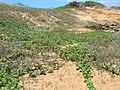 Starr 050516-1329 Vitex rotundifolia.jpg
