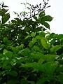 Starr 051122-5360 Asparagus asparagoides.jpg