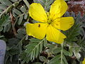 Starr 060228-8838 Tribulus cistoides.jpg