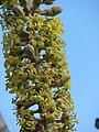Starr 061106-1453 Munroidendron racemosum.jpg