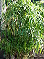Starr 061223-2773 Cyperus involucratus.jpg