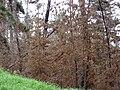 Starr 070908-9204 Pinus sp..jpg