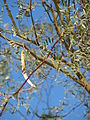 Starr 071227-1042 Prosopis glandulosa.jpg