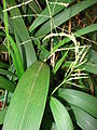 Starr 080304-3186 Setaria palmifolia.jpg