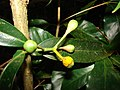 Starr 080326-3714 Syzygium jambos.jpg