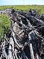 Starr 080604-6273 Casuarina equisetifolia.jpg