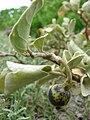Starr 080606-6970 Solanum nelsonii.jpg