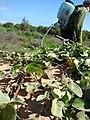 Starr 090121-0948 Solanum nelsonii.jpg