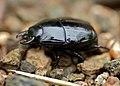 Steel Beetle (Histeridae) (11688417236).jpg