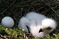 Steinadler Baby vierzehn Tage alt 12052007 01.jpg