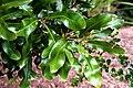 Stenocarpus sinuatus in Auckland Botanic Gardens 03.jpg