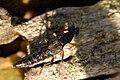 Stenus.clavicornis.-.lindsey.jpg