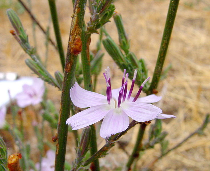 Image:Stephanomeria virgata.jpg