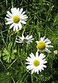Stinking Chamomile (Anthemis cotula) - geograph.org.uk - 974459.jpg