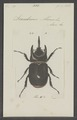Strategus - Print - Iconographia Zoologica - Special Collections University of Amsterdam - UBAINV0274 021 06 03 0053.tif