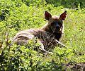 Streifenhyaene Hyaena hyaena Zoo Augsburg-01.jpg