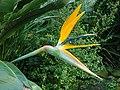 Strelitzia reginae 2020-02-08 7132.jpg