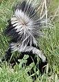 Striped Skunk, Bear River Refuge (15851830831).jpg